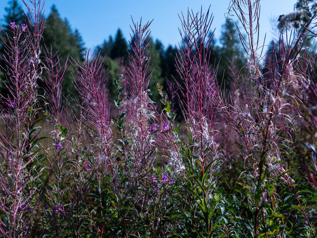 Leuchtendes Violett wächst auf schwarzem Moorboden. Wie schön das aussieht!